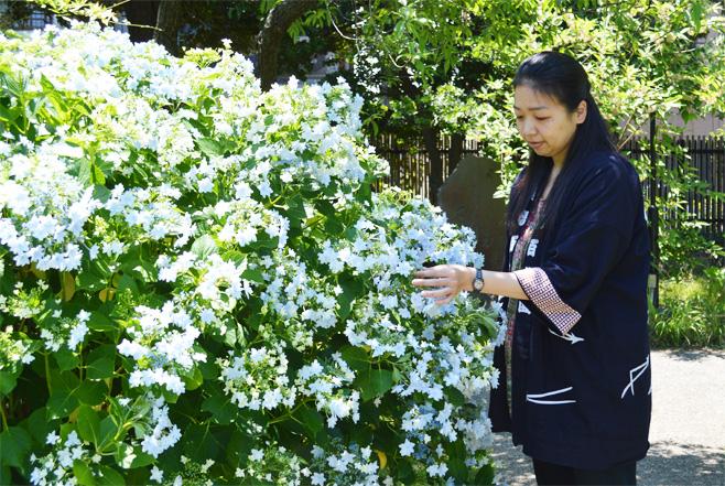 向島百花園 紫陽花