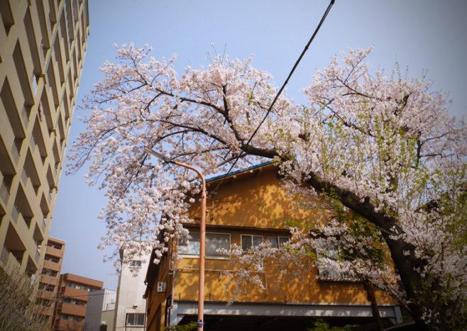 東向島の桜